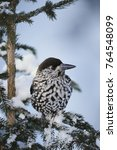 Small photo of Spotted Nutcracker (Nucifraga caryocatactes), adult perched on Norway spruce ruffled by minus 15 Celsius, Davos, Switzerland, December