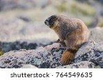 Yellow Bellied Marmot Marmota...
