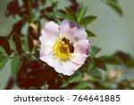 Bee On A Pink Flower . Macro O...