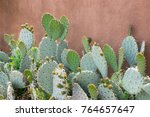 Several Prickly Pear Bunny Ear...