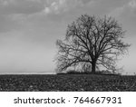 Small photo of Lone tree in harvested mealie field