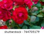 vivid red roses in full bloom...