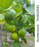 Small photo of Lemon tree, Lime tree,Lemons on tree, Green Fresh Lemon on tree, Lime Fresh from the garden.