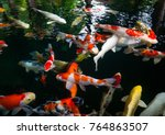 fancy carp  mirror carp  koi ... | Shutterstock . vector #764863507