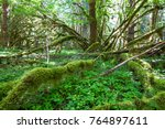 Small photo of Moss covers all the branches of this vine maple (Acer circinatum) in this lush part of the Gifford Pinchot National Forest, Washington