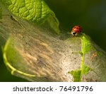 Close to a ladybeetle and a lot of canker worms - stock photo