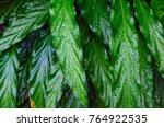 close up dumb cane leaves or... | Shutterstock . vector #764922535
