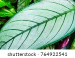 close up dumb cane leaves or... | Shutterstock . vector #764922541