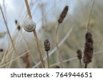 Small photo of Snails dunes agglutinated on the dry stems of dune plants found on the seaside. They find in the sand the limestone of their shells.