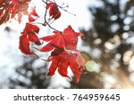 red maple leaf on maple | Shutterstock . vector #764959645
