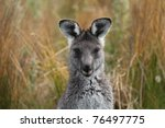 Eastern Grey Gray Kangaroo...