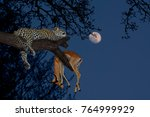 Leopard  Panthera Pardus  With...