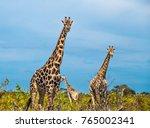 Giraffe  Savuti  Chobe National ...