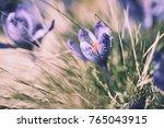 beautiful violet crocus flower... | Shutterstock . vector #765043915