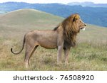 A Massive Male Lion In The...