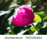 wild flower of pink peony with... | Shutterstock . vector #765102601