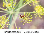 two bugs  graphosoma  red and... | Shutterstock . vector #765119551