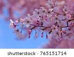 Pink Sakura Japanese Cherry...