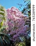 tree chorisia speciosa  ceiba... | Shutterstock . vector #765289999