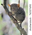 Small photo of Tarsier monkey in tree, Bohol Island, Philippines