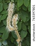 Small photo of Rogers bottlebrush buckeye (Aesculus parviflora var. serotina Rogers)