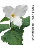 White Trillium  Trillium...