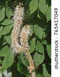 Small photo of Rogers bottlebrush buckeye (Aesculus parviflora var. serotina Rogers)