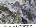 collared pika ochotona collaris ... | Shutterstock . vector #765471925