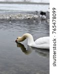 Small photo of Swan in lake stretching its neck with its reflection in the water