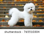 adorable bichon frise dog with... | Shutterstock . vector #765510304