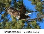 an american bald eagle flies... | Shutterstock . vector #765516619