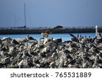 juvenile red footed booby a... | Shutterstock . vector #765531889