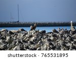 juvenile red footed booby a... | Shutterstock . vector #765531895