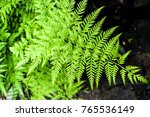 fern in detail showing branches ... | Shutterstock . vector #765536149