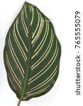 calathea majestica m.kenn cu... | Shutterstock . vector #765555079