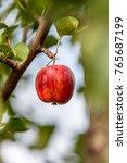 apple tree  china   Shutterstock . vector #765687199