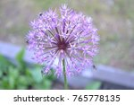 Small photo of A flower Gynura like a violet blow ball in the green countryside