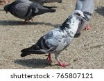 group of pigeon isolated | Shutterstock . vector #765807121