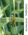 Grasshopper  Grasshopper On Th...