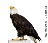 bald eagle  22 years   ... | Shutterstock . vector #7658563