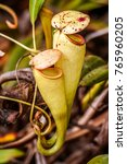 nepenthes  carnivorous plant...   Shutterstock . vector #765960205