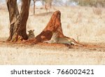 closeup of a  lion pride ... | Shutterstock . vector #766002421