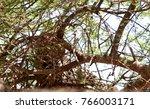 closeup of a  leopard up a tree ... | Shutterstock . vector #766003171