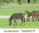 closeup of burchell's zebra or... | Shutterstock . vector #766009279