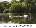 Beautiful White Swan  With...