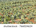 a bed of green  ripe cabbages ... | Shutterstock . vector #766024624