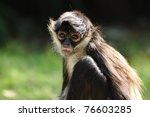 Geoffroy's Spider Monkey ...