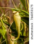nepenthes  carnivorous plant...   Shutterstock . vector #766053175