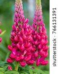red lupins in a garden | Shutterstock . vector #766131391