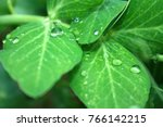 drops on a leaf close up.... | Shutterstock . vector #766142215